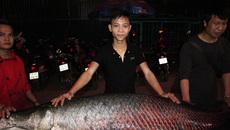 Cá hải tượng dài gần 2m xuất hiện ở Hà Nội