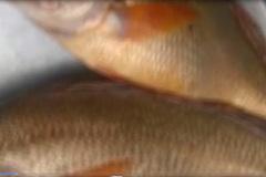 Đồng Nai: Bắt được 2 con cá sủ vàng có giá cả tỷ đồng