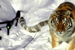 Hổ Siberia tung mình vồ nát máy bay không người lái