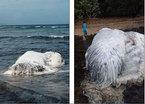 Bí ẩn quái vật lông lá dạt lên bờ biển Philippines