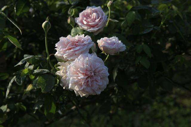 Cô gái 9x sở hữu vườn hoa hồng trị giá 5 tỷ đồng