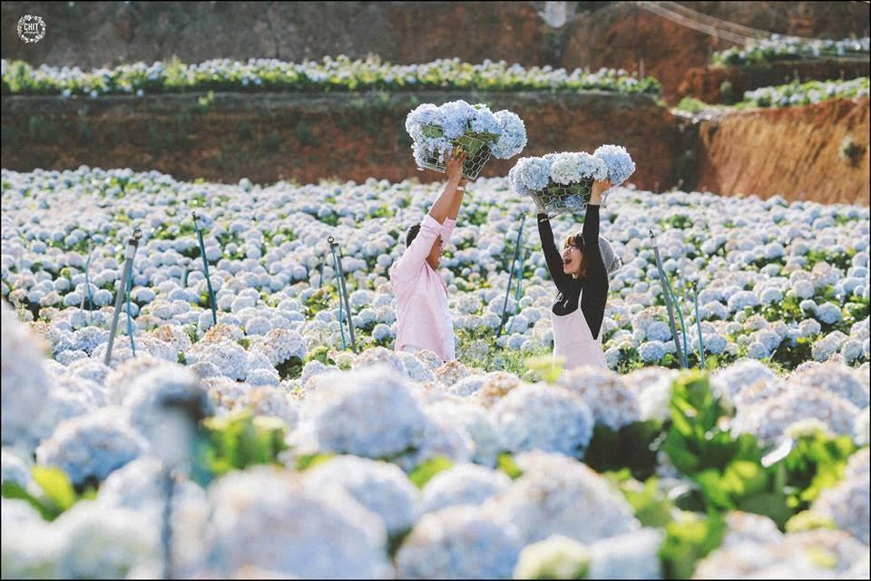 du lịch,Đà Lạt,cẩm tú cầu,du khách,vườn hoa