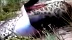 Rắn anaconda khổng lồ chết thảm vì nuốt chửng đồng loại
