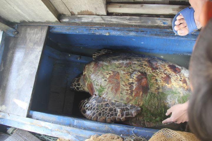 Bắt được rùa biển 50kg hoa văn lạ mắt