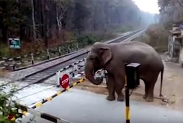 Xem voi kiên nhẫn nhấc barie vượt đường tàu hoả