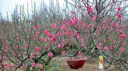 Quận Tây Hồ muốn trồng hoa đào dưới đường điện cao thế