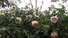 Yêu cầu báo cáo về lễ hội hoa hồng Bulgaria