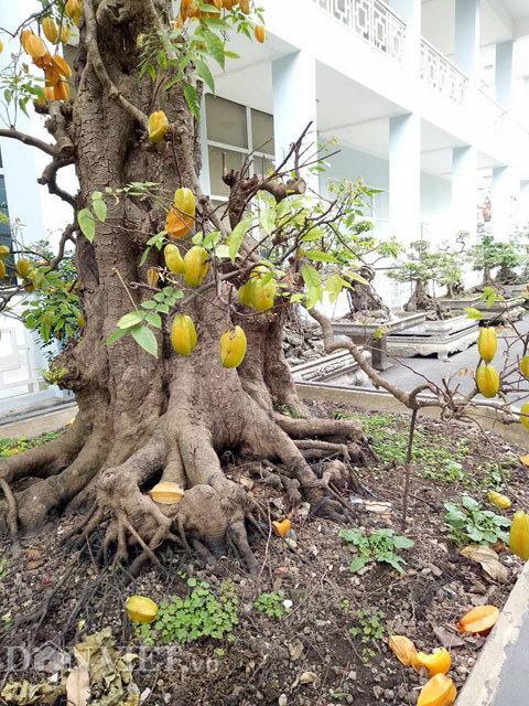Cặp khế bonsai ra quả từ gốc tới đỉnh ngọn