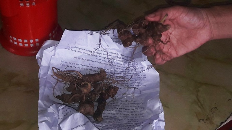 Trộm dọn sạch vườn sâm quý Ngọc Linh hơn 500 gốc
