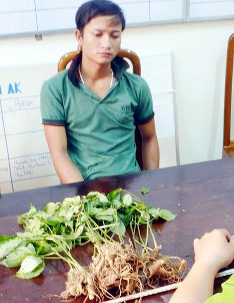 nạn trộm sâm, vườn sâm, trồng sâm, sâm Ngọc Linh, sâm Việt Nam