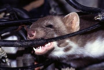 Chống chuột, côn trùng phá xe cách nào?