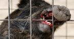 Lợn rừng nhiễm phóng xạ tấn công con người