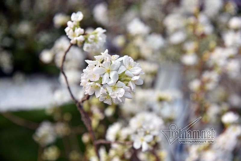 Ngắm hoa anh đào nguyên cành trước giờ mở hội