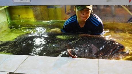 TP.HCM: Cá mú nặng gần 200 kg được nhập về làm mồi nhậu