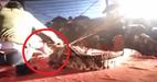 Diễn viên xiếc bị cá sấu cắn rách mặt khi đang diễn