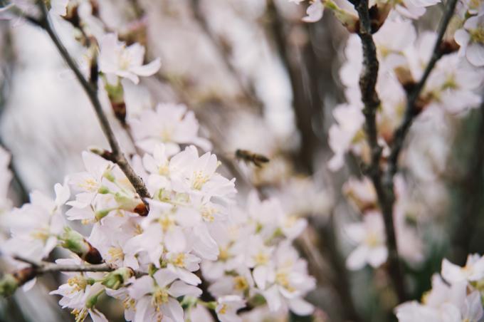 Hải Phòng chăng dây, ngăn người xem đến gần hoa anh đào
