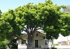 Trồng cây sai cách trong nhà, muôn đời tài lộc không đến