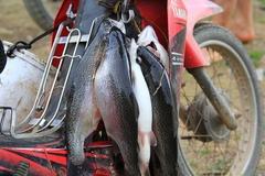 Lần đầu tiên nuôi cá hồi trên đỉnh Mẫu Sơn, thu gần 6 tỷ/năm