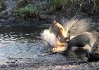 Linh dương bị xé xác chóng vánh sau trận tử chiến với bầy linh cẩu