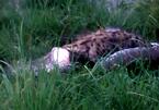 Linh cẩu 68kg bị trăn khổng lồ nuốt chửng