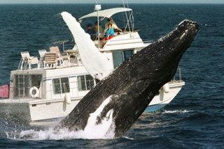 Bí ẩn cá voi lưng gù đột ngột đổ về Nam Phi