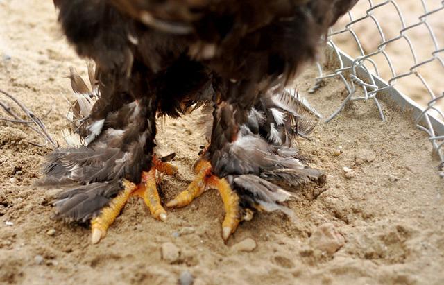 gà quý, nuôi gà, nông dân, gà Đông Tảo, thịt gà