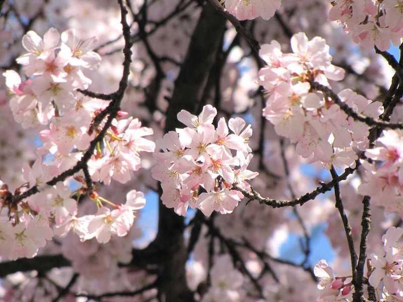 Đẹp hút hồn sắc hoa anh đào nở rộ khắp thế giới - ảnh 2