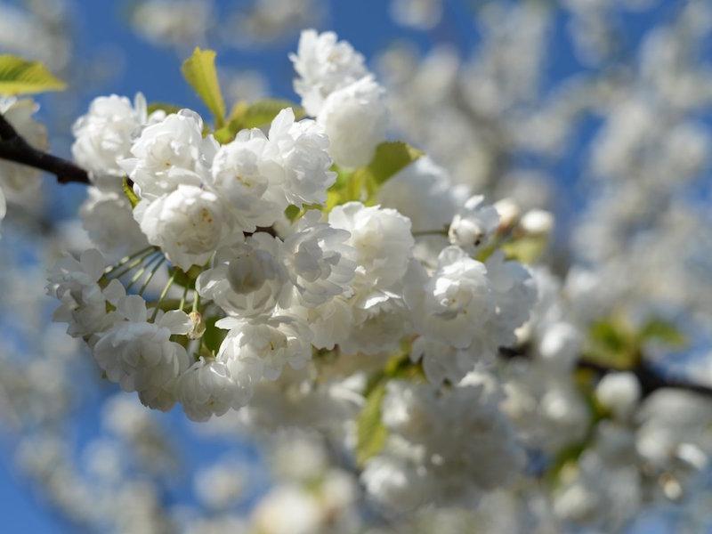 Đẹp hút hồn sắc hoa anh đào nở rộ khắp thế giới - ảnh 5