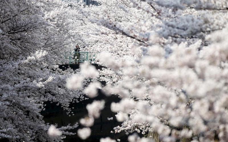 Đẹp hút hồn sắc hoa anh đào nở rộ khắp thế giới - ảnh 7