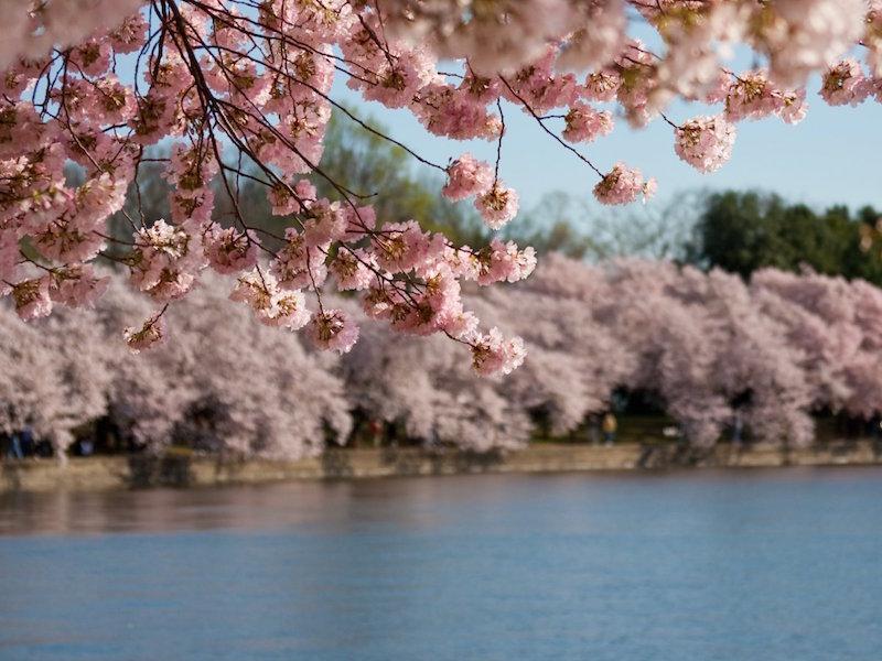 Đẹp hút hồn sắc hoa anh đào nở rộ khắp thế giới - ảnh 12
