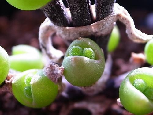 Lộ diện loại cây tí hon biết 'biểu cảm', bất cứ ai nhìn thấy cũng 'đổ rầm'