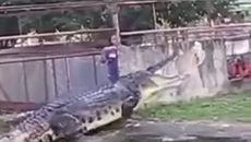 Màn chọc tức cá sấu khổng lồ khiến người xem khóc thét