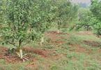 Hòa Bình: Hàng trăm cây cam bị kẻ xấu phá hoại cạo sạch vỏ