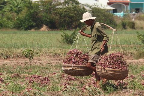 hành, lao động, nông dân, Sóc Trăng