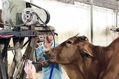 Mỗi con bò kiếm lời thêm 20 kg nhờ bơm nước lã