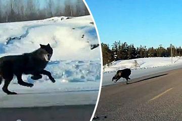 Kỳ lạ cảnh 2 con chó sói rượt đuổi ô tô cô gái trẻ trên cao tốc