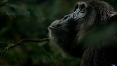 Bầy tinh tinh đáng sợ nhất hành tinh, xé xác khỉ trong chớp mắt