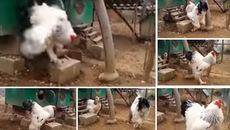 Cư dân mạng phát sốt vì chú gà 'lớn nhất thế giới'