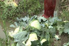 Thảm cảnh ở Hải Dương: Nông dân nhổ bỏ cải bắp, cà rốt làm phân bón