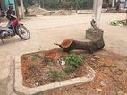 Người Hà Nội ngỡ ngàng khi quan xã chặt cây xanh chục tuổi