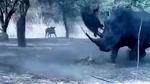 Tê giác hơn 1 tấn húc bay lợn rừng lên không trung