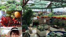 'Rình' bố mẹ chồng vắng nhà, con dâu dỡ mái tôn trồng rau sạch