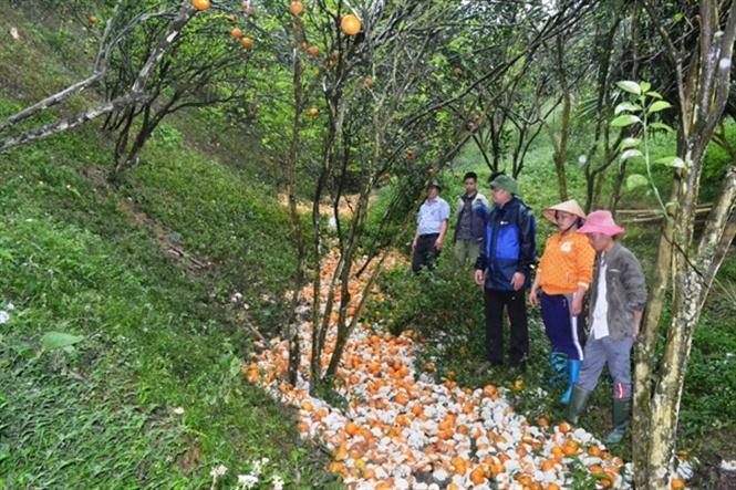 Cam sành, cam sành Hà Giang, đặc sản cam sành, Hà Giang, trồng cam, nông dân, cây cam