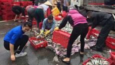 Người dân giúp tài xế bị thương gom 2 tấn cá đổ giữa đường