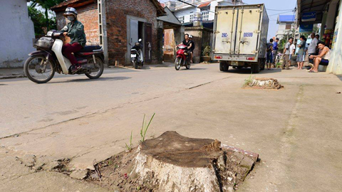 Hà Nội cấm chặt cây xanh khi dẹp vỉa hè