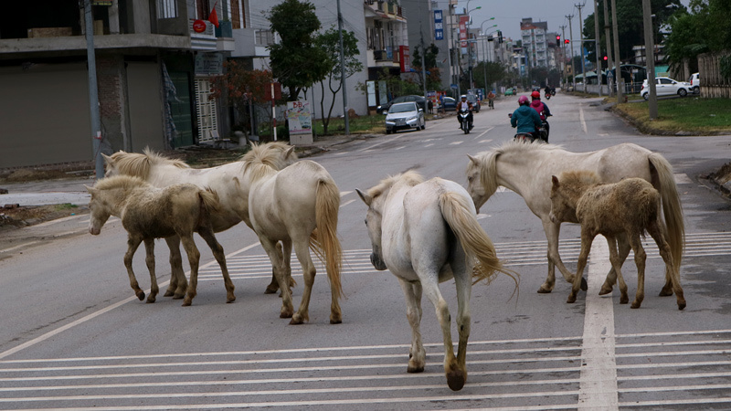 Chuyện lạ: Đàn ngựa bạch phi đường nhựa, kiếm ăn giữa phố