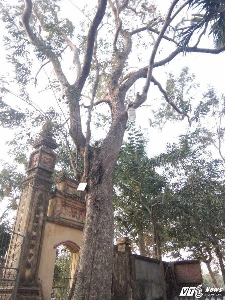 gỗ sưa, cây sưa, sưa đỏ, Bắc Ninh, đấu giá, tiền tỷ,