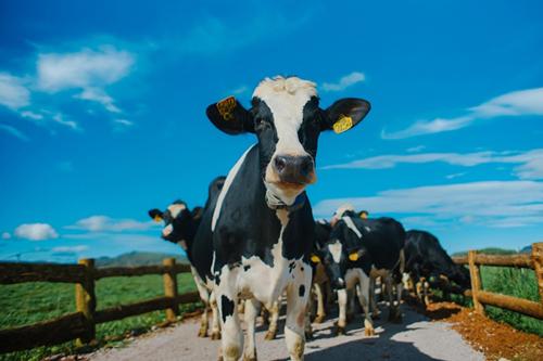 Trang trại bò sữa Organic: bước tiến mới của ngành sữa Việt