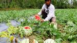 Trung Quốc ngừng mua, nông sản Việt 'vỡ trận' giá giảm mạnh