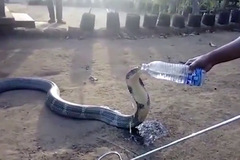 Hổ mang chúa bò vào làng 'xin nước'